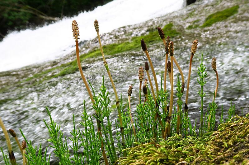 river horsetails (Equisetum fluviatile) [Lacamas Park, Camas, Washington]