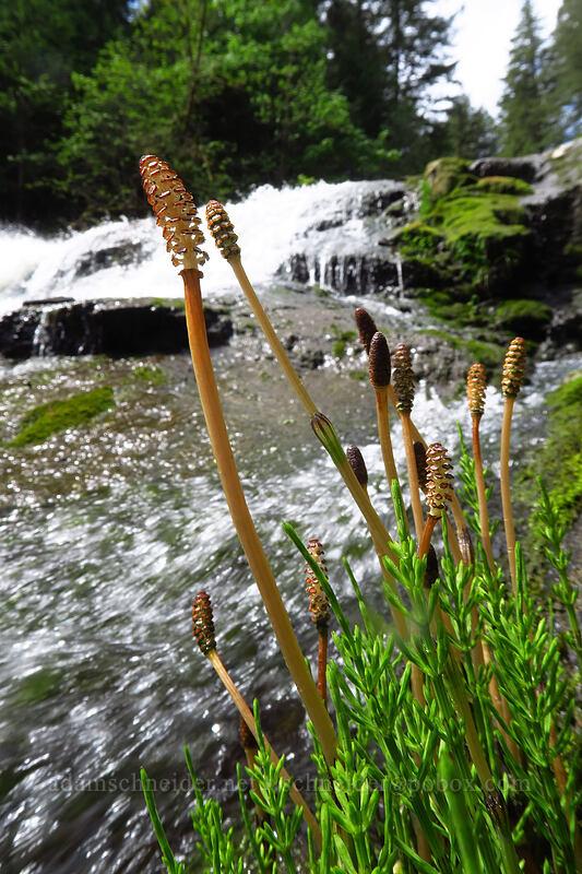 river horsetails (Equisetum sp., Equisetum fluviatile) [Lacamas Park, Camas, Washington]
