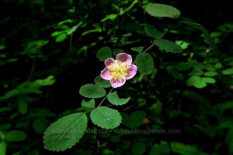 wild rose (Rosa sp.) [Lacamas Park, Camas, Washington]