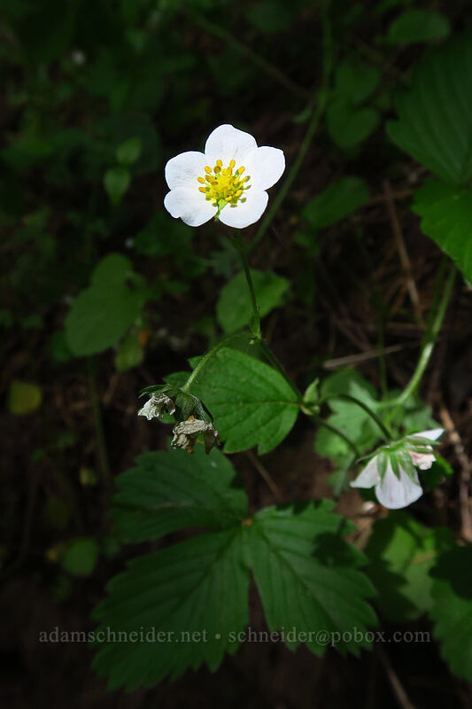 wild strawberry flower (Fragaria vesca) [Lacamas Park, Camas, Washington]