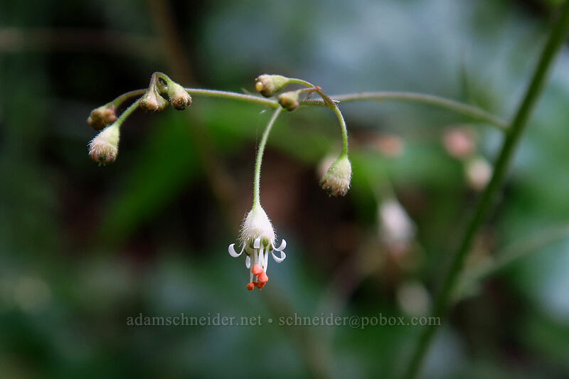small-flowered alumroot (Heuchera micrantha) [Lacamas Park, Camas, Washington]