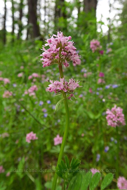 rosy plectritis (Plectritis congesta) [Lacamas Park, Camas, Washington]