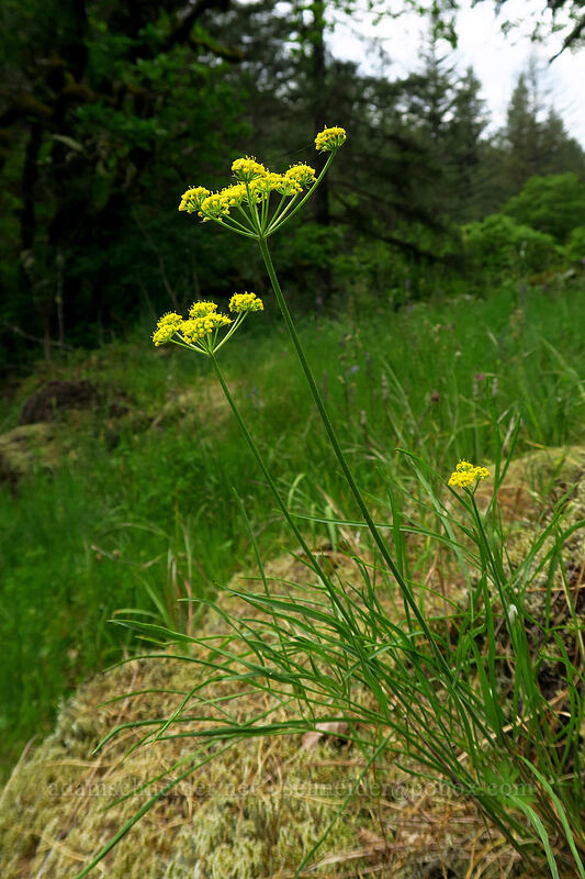 nine-leaf desert parsley (Lomatium triternatum) [Lacamas Park, Camas, Washington]