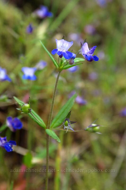 small-flowered blue-eyed-Mary (Collinsia parviflora) [Lacamas Park, Camas, Washington]