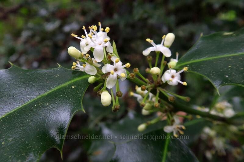 holly flowers (Ilex aquifolium) [Lacamas Park, Camas, Washington]