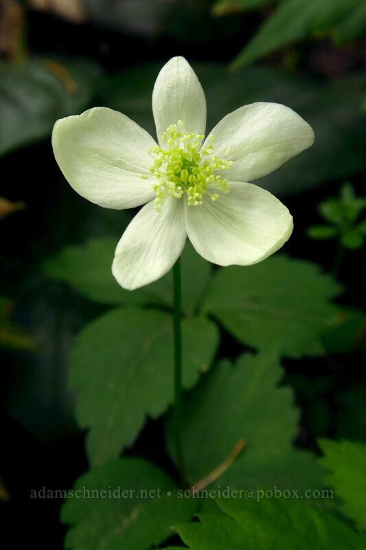 Columbia windflower (Anemone deltoidea) [Lacamas Park, Camas, Washington]