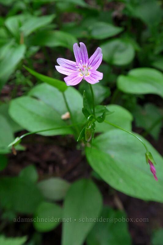 candyflower (Claytonia sibirica (Montia sibirica)) [Lacamas Park, Camas, Washington]