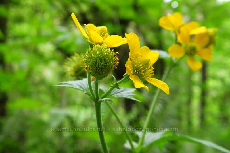 large-leaf avens (Geum macrophyllum) [Lacamas Park, Camas, Washington]