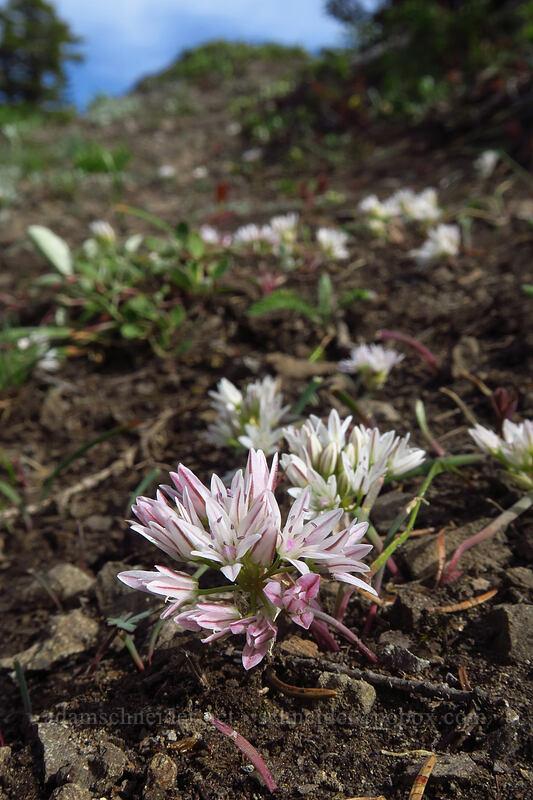 scalloped onion flowers (Allium crenulatum) [Sardine Mountain, Willamette National Forest, Oregon]