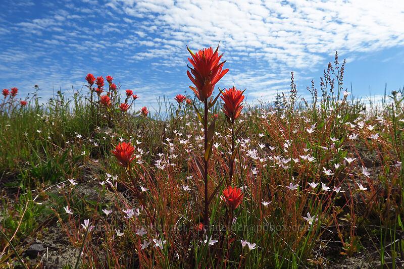 paintbrush & montia (Castilleja miniata, Montia parvifolia (Claytonia parvifolia)) [Boundary Trail, Mt. St. Helens National Volcanic Monument, Washington]