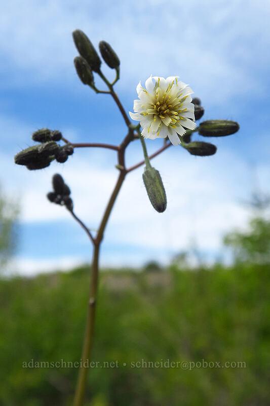 white hawkweed (Hieracium albiflorum) [Truman Trail, Mt. St. Helens National Volcanic Monument, Washington]