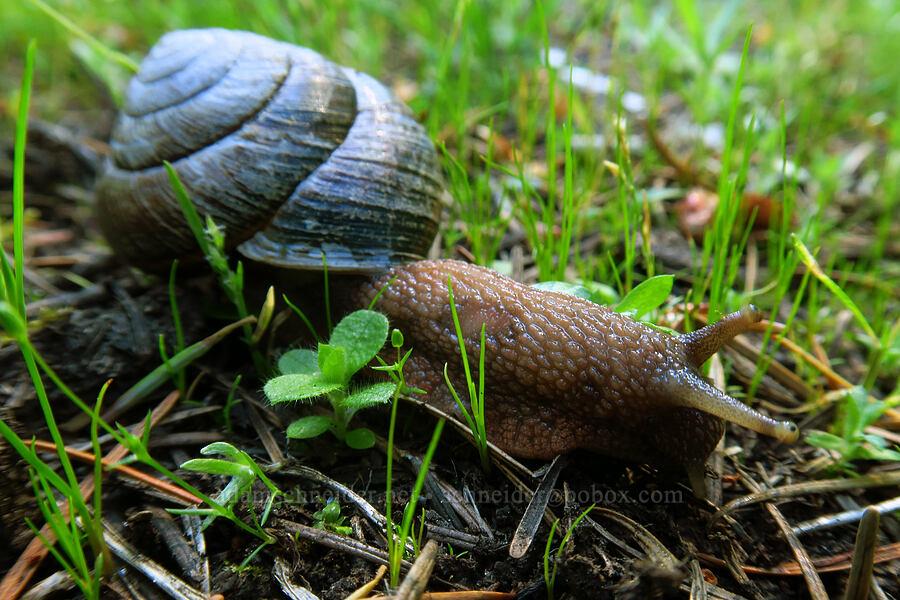 largish snail [Forest Road 5824-124, Willamette National Forest, Oregon]