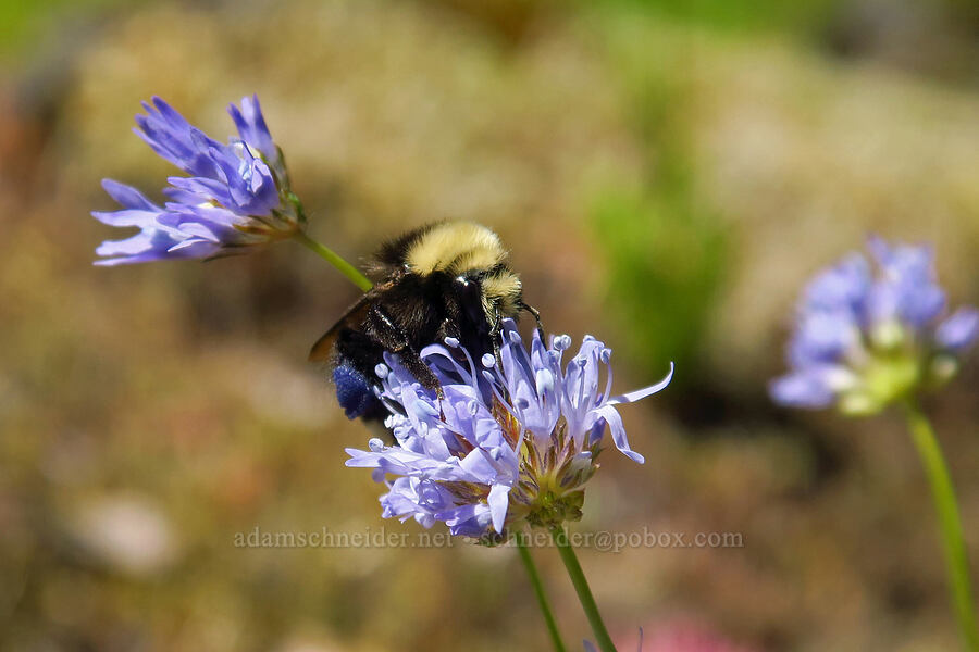 bumblebee on blue-head gilia (Gilia capitata) [Tire Mountain summit, Willamette National Forest, Oregon]