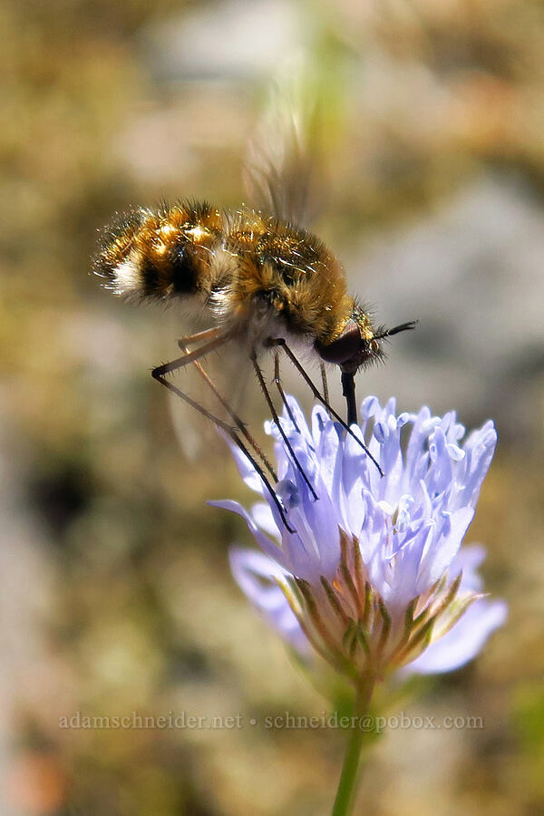 bee fly on blue-head gilia (Gilia capitata) [Tire Mountain summit, Willamette National Forest, Oregon]