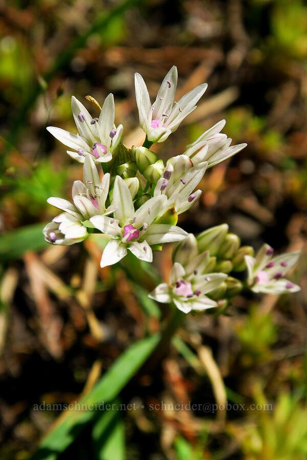 slim-leaf onion (Allium amplectens) [Tire Mountain summit, Willamette National Forest, Oregon]