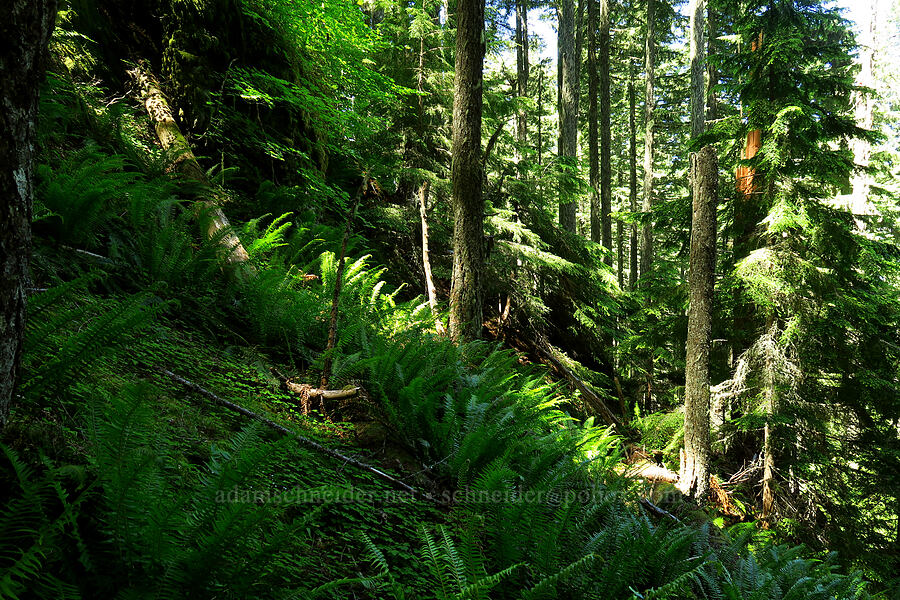 bushwhack route [Tire Mountain, Willamette National Forest, Oregon]