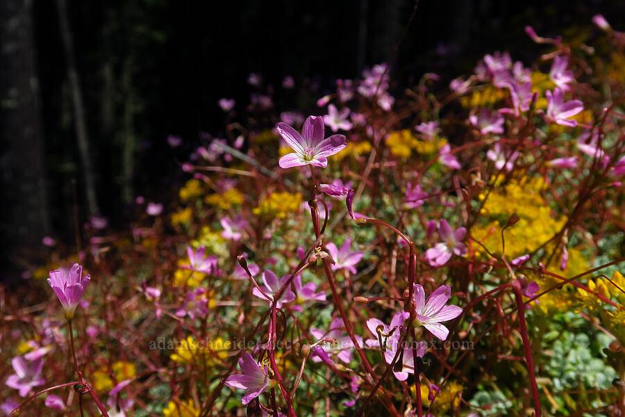 little-leaf montia & stonecrop (Montia parvifolia, Sedum sp.) [Tire Mountain, Willamette National Forest, Oregon]