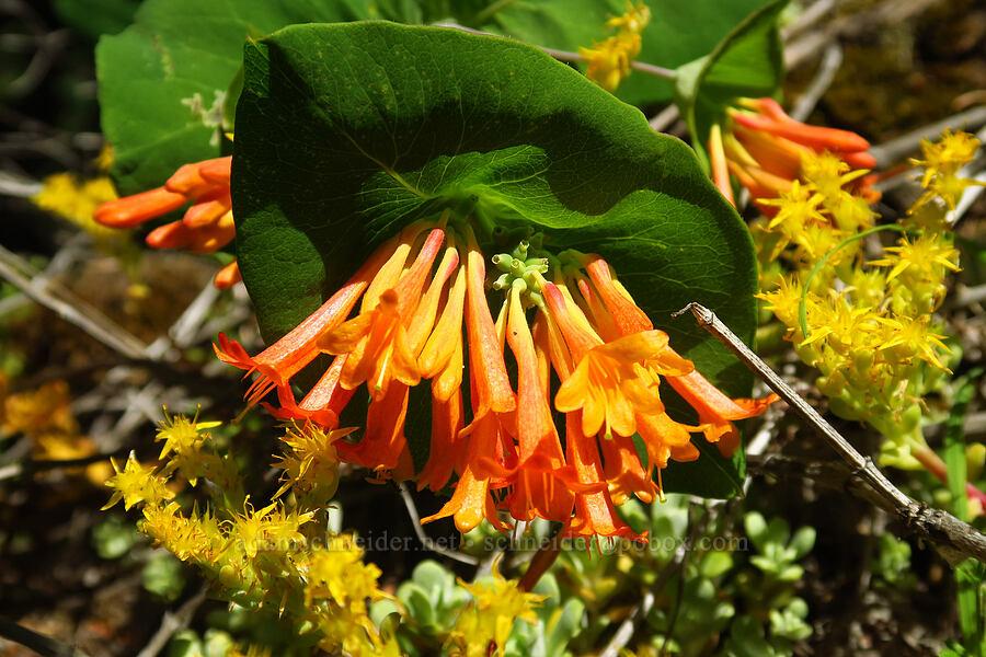 orange honeysuckle (Lonicera ciliosa) [Tire Mountain, Willamette National Forest, Oregon]