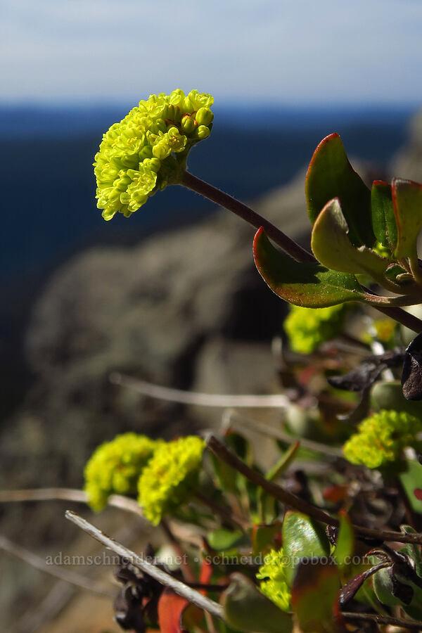 marum-leaf buckwheat (Eriogonum marifolium) [Fuji Mountain Trail, Willamette National Forest, Oregon]