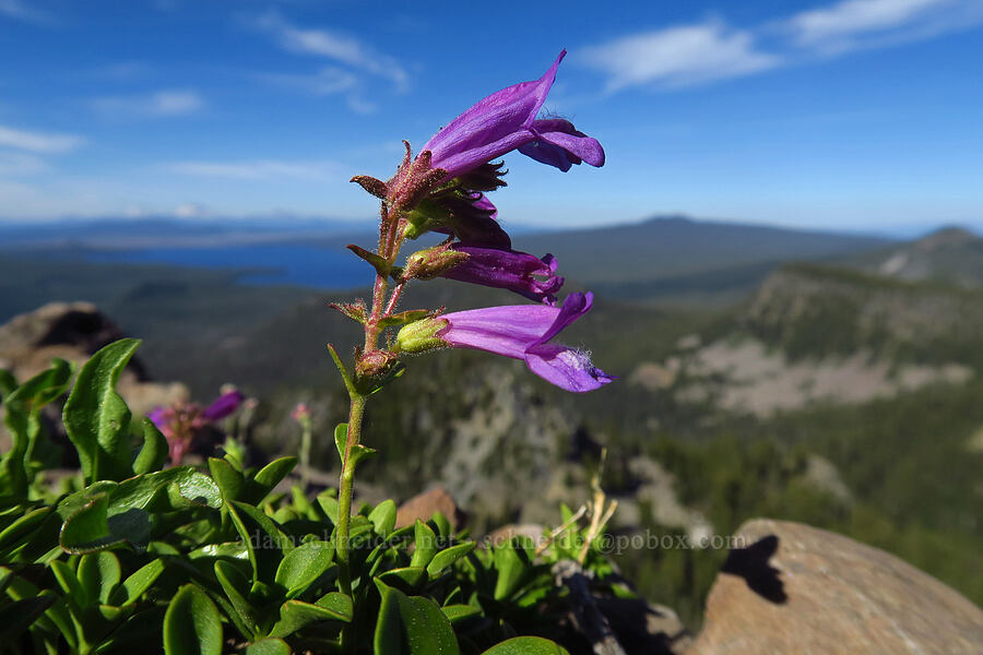 Davidson's penstemon (Penstemon davidsonii) [Fuji Mountain summit, Willamette National Forest, Oregon]