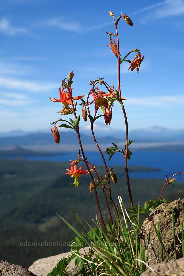 crimson columbine (Aquilegia formosa) [Fuji Mountain summit, Willamette National Forest, Oregon]