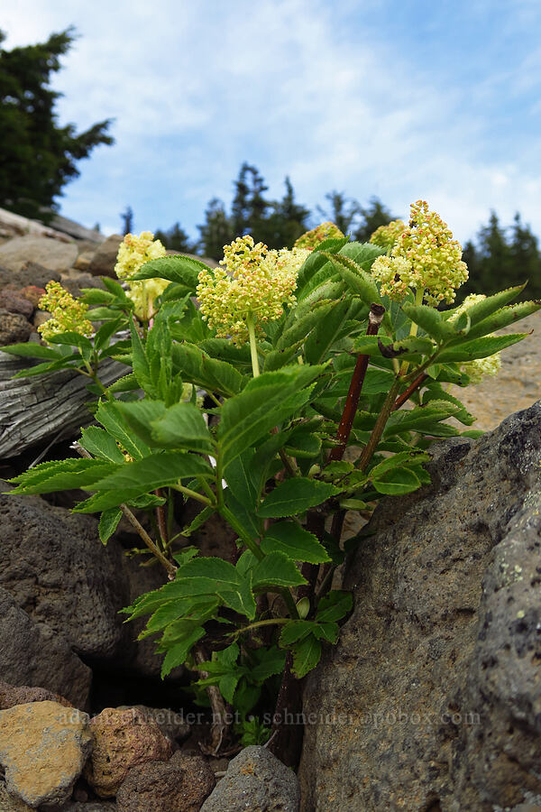 red elderberry flowers (Sambucus racemosa) [Fuji Mountain summit, Willamette National Forest, Oregon]