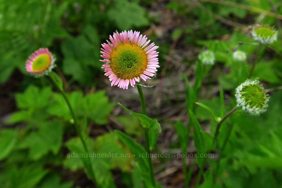 Alice's fleabane (Erigeron aliceae) [Bunchgrass Ridge, Willamette National Forest, Oregon]