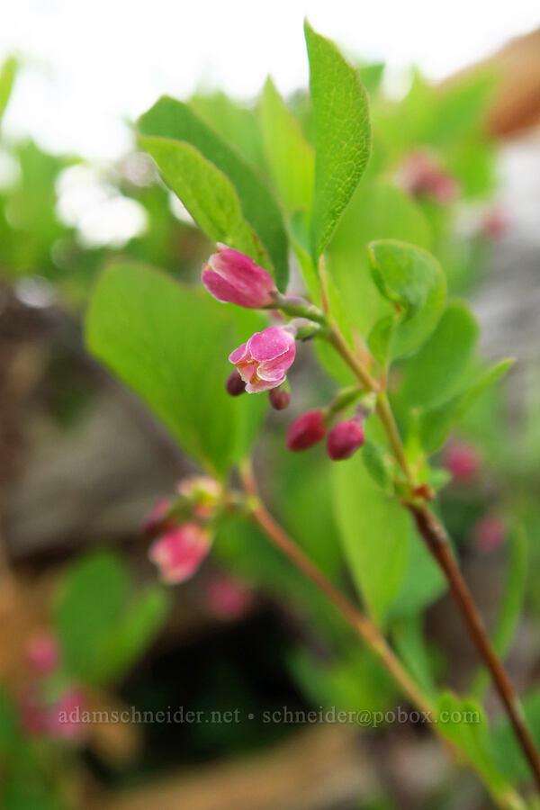 snowberry flowers (Symphoricarpos sp.) [Bunchgrass Ridge, Willamette National Forest, Oregon]