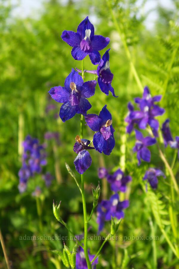 Menzies' larkspur (Delphinium menziesii) [Bunchgrass Ridge, Willamette National Forest, Oregon]