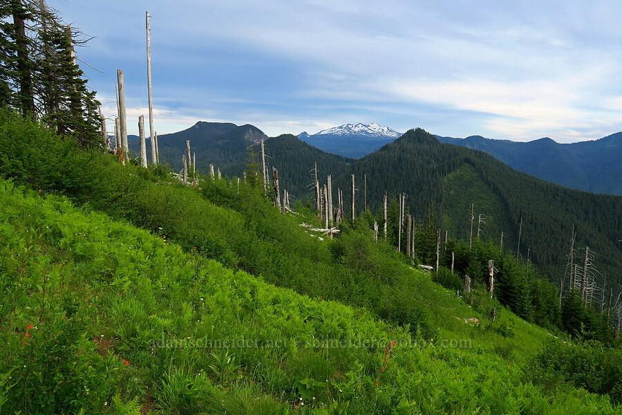 ferns, snags, & Diamond Peak [Bunchgrass Ridge, Willamette National Forest, Oregon]