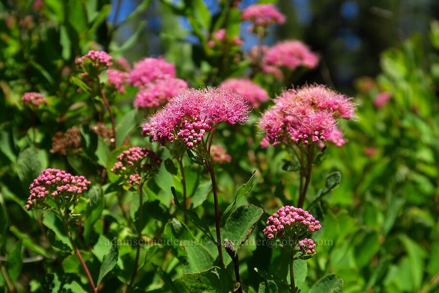 subalpine spirea (Spiraea densiflora (Spiraea splendens)) [Blair Meadows, Willamette National Forest, Oregon]
