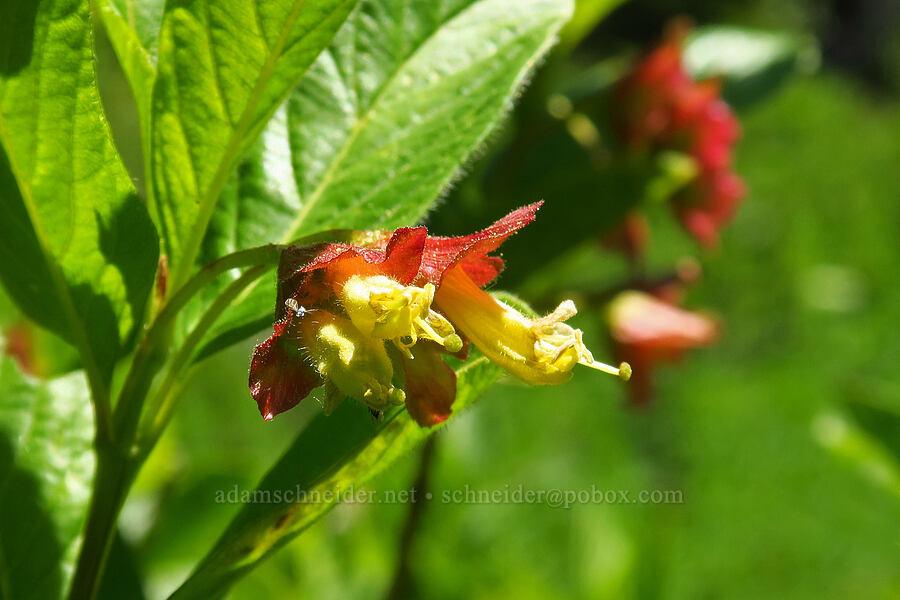twinberry flowers (Lonicera involucrata) [Blair Meadows, Willamette National Forest, Oregon]