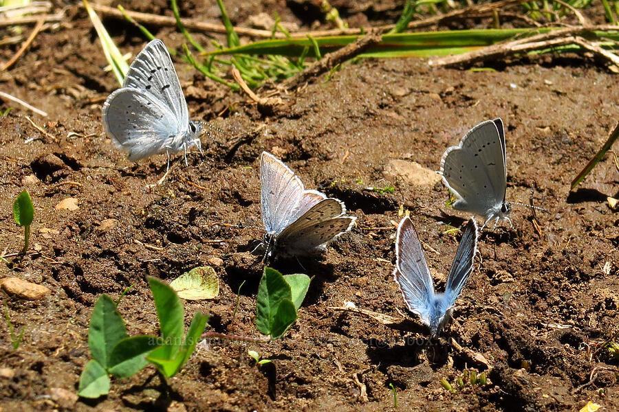 blue butterflies [Blair Meadows, Willamette National Forest, Oregon]