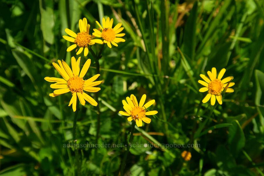 alpine meadow groundsel (Packera subnuda var. subnuda (Senecio cymbalarioides)) [Blair Meadows, Willamette National Forest, Oregon]