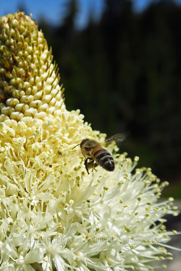 honeybee approaching beargrass (Apis mellifera, Xerophyllum tenax) [Spring Prairie, Willamette National Forest, Oregon]