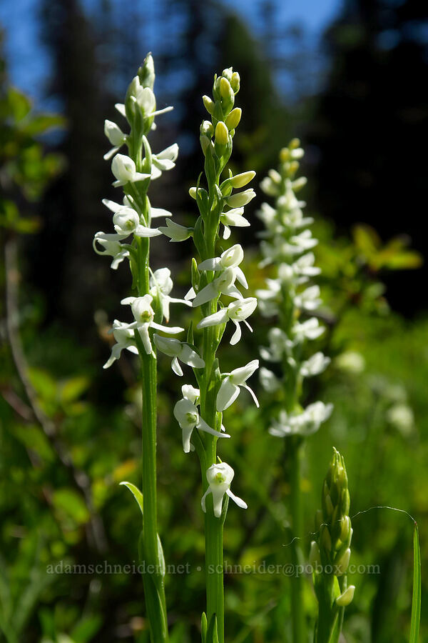 white bog orchid (Platanthera dilatata (Habenaria dilatata)) [Blair Meadows, Willamette National Forest, Oregon]
