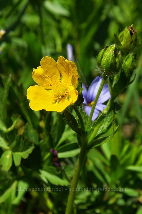 Drummond's cinquefoil (Potentilla drummondii ssp. drummondii (Potentila cascadensis)) [Blair Meadows, Willamette National Forest, Oregon]