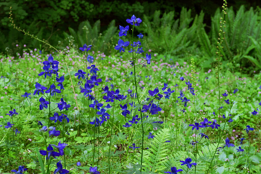 Menzies' larkspur (Delphinium menziesii) [Alpine Trail, Willamette National Forest, Oregon]