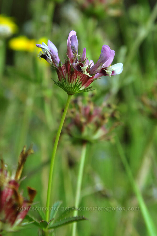 few-flowered clover (Trifolium oliganthum) [Alpine Trail, Willamette National Forest, Oregon]