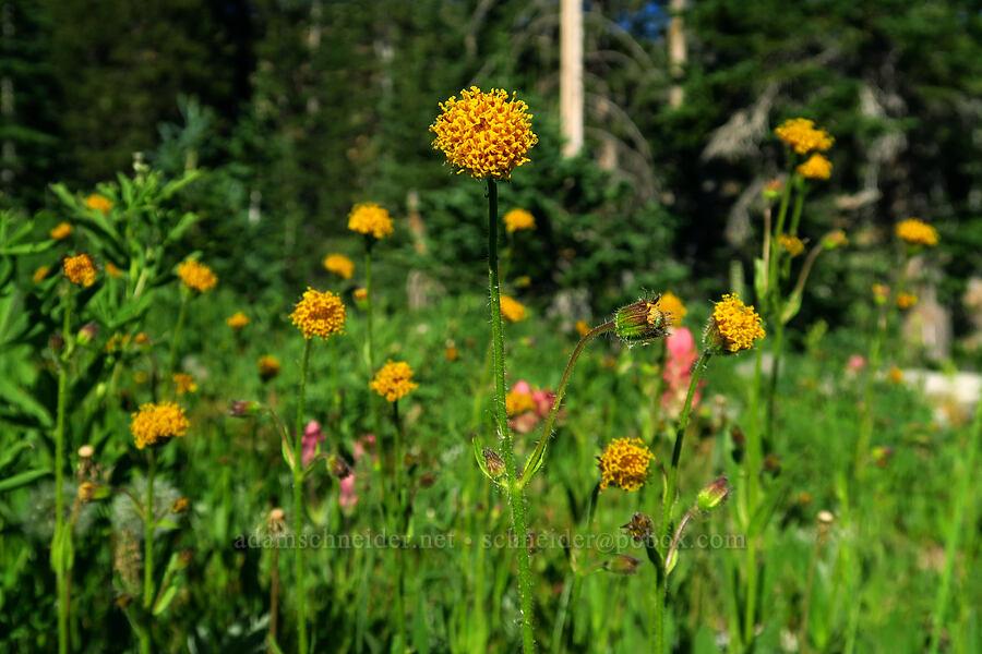 Parry's arnica (nodding arnica) (Arnica parryi) [Cecret Lake Trail, Alta, Utah]