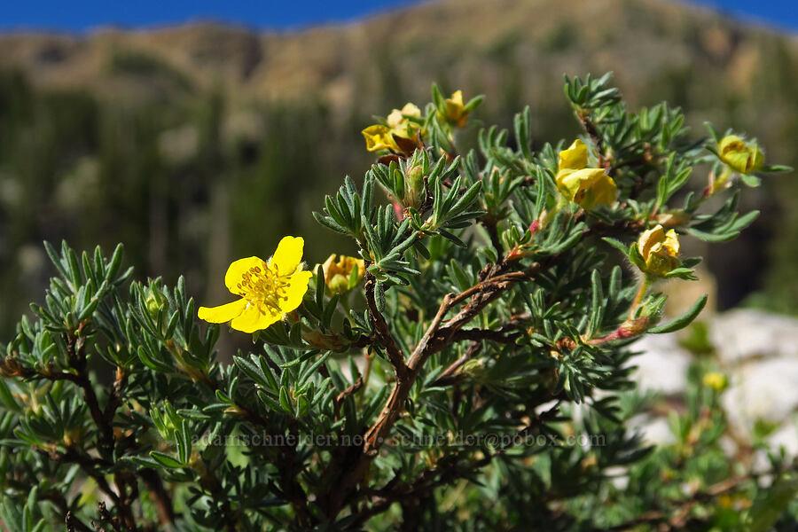 shrubby cinquefoil (Dasiphora fruticosa (Potentilla fruticosa)) [Cecret Lake Trail, Alta, Utah]
