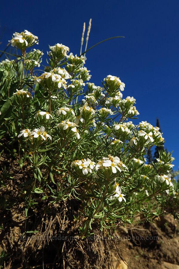 Nuttall's linanthus (Leptosiphon nuttallii (Linanthus nuttallii)) [Cecret Lake Trail, Alta, Utah]