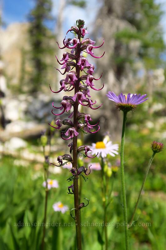 elephant's-head lousewort (Pedicularis groenlandica) [Iron Creek-Stanley Lake Trail, Sawtooth Wilderness, Idaho]