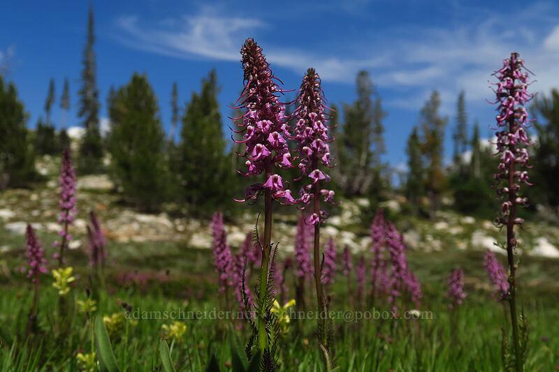 elephant's-head lousewort (Pedicularis groenlandica) [below Alpine Peak, Sawtooth Wilderness, Idaho]