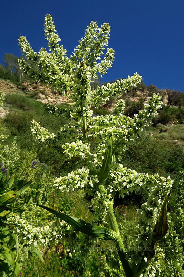 California corn lily (Veratrum californicum) [Dry Lake-Pockets Fork Trail, Deseret Peak Wilderness, Utah]