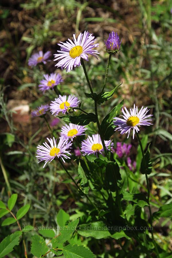 showy fleabane (Erigeron speciosus) [Stansbury Crest Trail, Deseret Peak Wilderness, Utah]