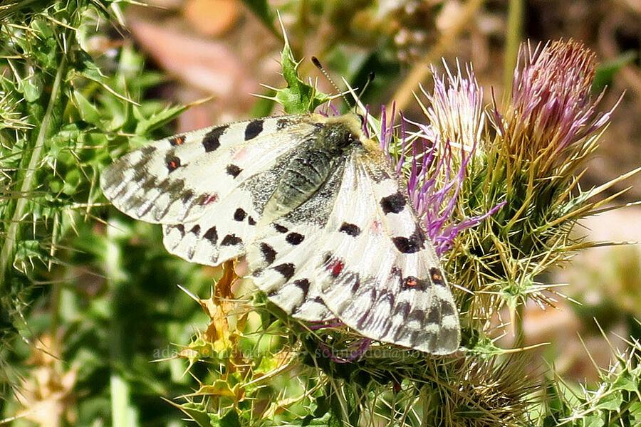 Rocky Mountain parnassian butterfly (Parnassius smintheus) [Stansbury Crest Trail, Deseret Peak Wilderness, Utah]