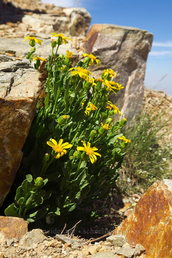 Fremont's groundsel/ragwort (Senecio fremontii) [Deseret Peak summit, Deseret Peak Wilderness, Utah]