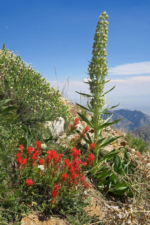 paintbrush & monument plant (Castilleja applegatei, Frasera speciosa) [Stansbury Crest Trail, Deseret Peak Wilderness, Utah]