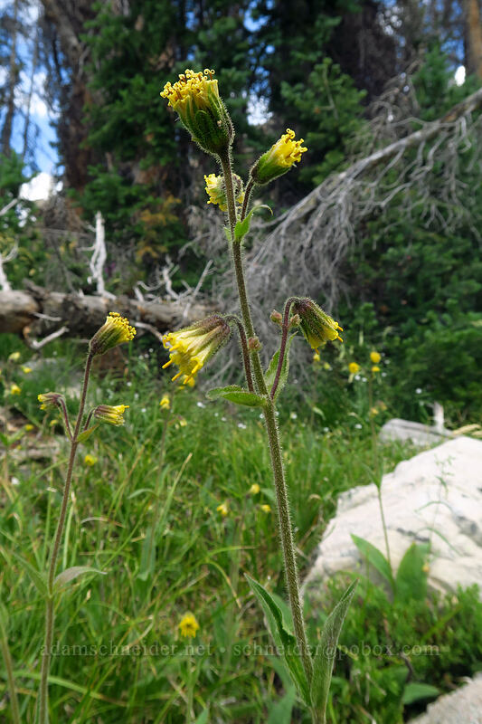 Parry's arnica (nodding arnica) (Arnica parryi) [Lofty Lake Loop Trail, Uinta-Wasatch-Cache National Forest, Utah]